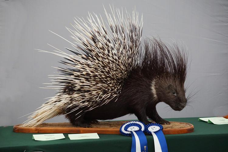 Crested-Porcupine-by-Darius-Dauksa