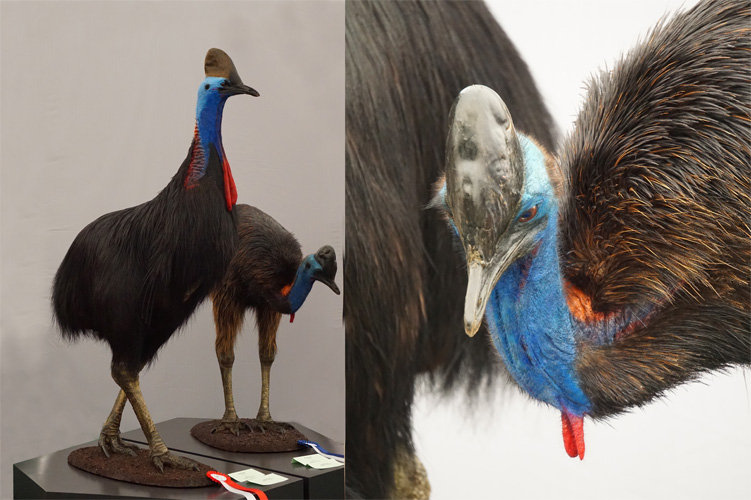 Double-wattled-Cassowary-by-Robert-Stein