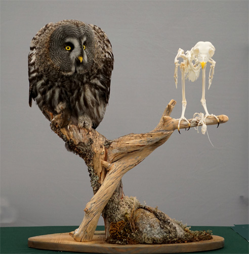 Great-Grey-Owl-and-Skeleton-by-Netta-Lempiaeinen-and-Janne-Granroth